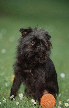 Чихуахуа  описание стандарт фото уход цена щенков
